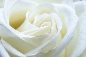 rose-1033202_960